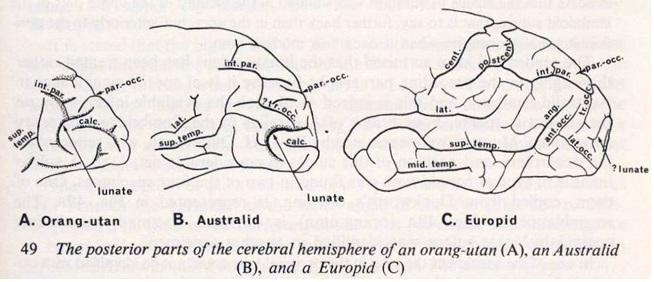 Cerveau d'un orang outang, d'un aborigène d'Australie et d'un européen